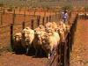 Australia Sheep Culture