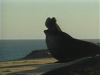Elephant Seals on the Coast