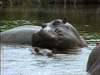 Hippos of Africa