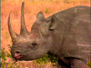 Rhinos of Africa